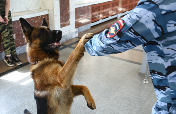 Процесс дрессировки служебной собаки кинологом