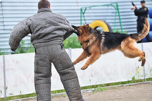 Обучение служебной собаки кинологом